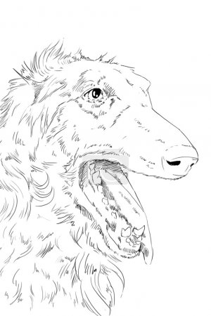 Borzoi dog pencil drawing