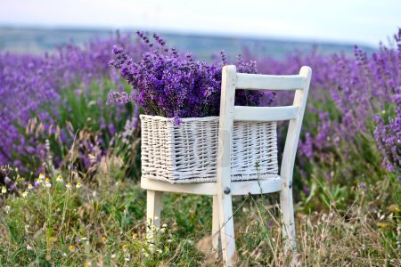 Photo for Lavender in the basket near the field - Royalty Free Image