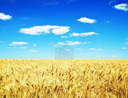 Photo pour Paysage estival avec champ de blé et nuages - image libre de droit