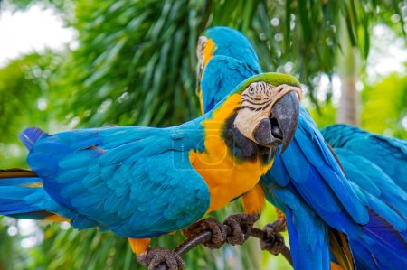 Amazing Blue and Yellow Macaw (Arara parrots)