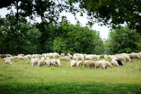 Herd on sheep in Italy