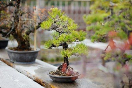 Photo pour Rangée d'arbres bonsaï à un jardin japonais - image libre de droit