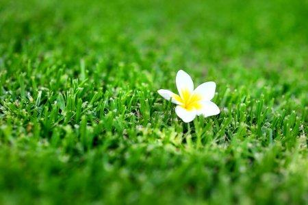 Frangipani tropical flower on a grass