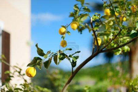Ripe lemons tree