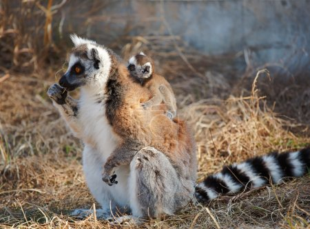 Photo for Ring tailed lemur catta with baby - Royalty Free Image