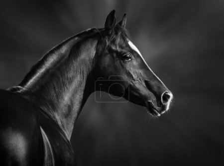 Black and white portrait of arabian stallion...
