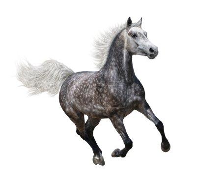 Photo pour Au galop la cheval arabe sur fond blanc - image libre de droit