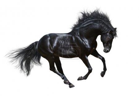 Black stallion in motion - isolated on white