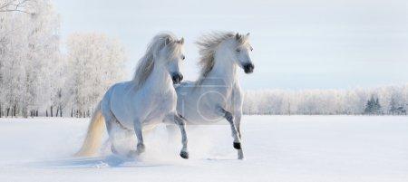 Photo pour Deux poneys gallois blancs gallois galopants sur un champ de neige - image libre de droit