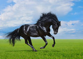 Black horse gallops on green field