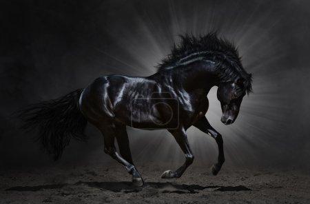 Black Andalusian stallion gallops