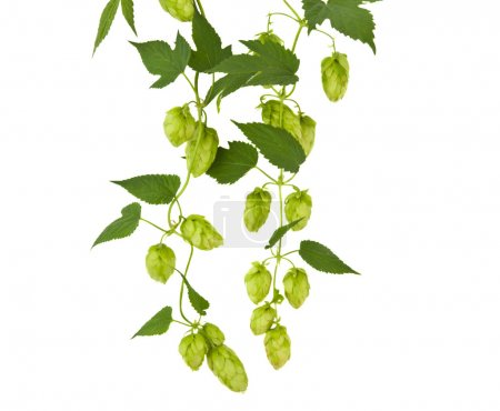 hops plant twined vine, young leaves