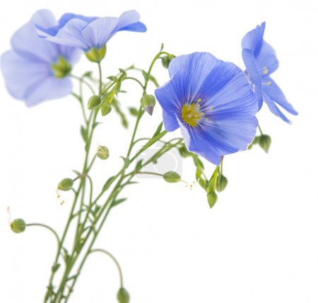 flax flower isolated