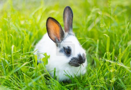 Rabbit in grass