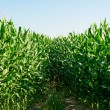 Detailed view of still unripe maize plants growing...