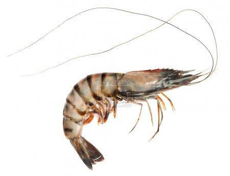 Photo pour Crevettes brutes - image libre de droit