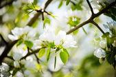 Kvetoucí větev jabloně na jaře