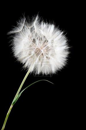 Photo pour Pissenlit blanc - image libre de droit
