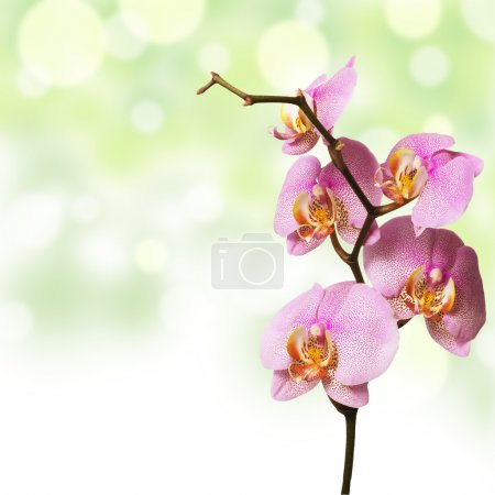 Photo for Pink orchid and green background - Royalty Free Image