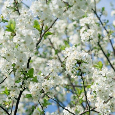 Foto de Manzano en flor contra el cielo azul - Imagen libre de derechos