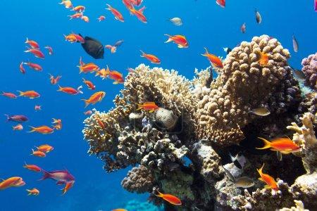 Photo pour Corail et poissons en Mer Rouge.Egypte - image libre de droit