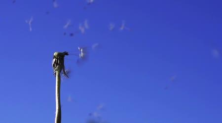 Pampeliška semena v modré obloze