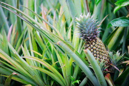 Photo for Pineapple tropical fruit growing in a field - Royalty Free Image