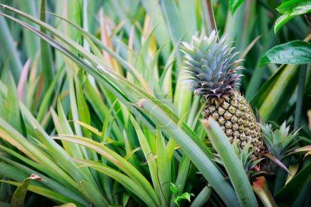 Photo pour Ananas fruits tropicaux poussant dans un champ - image libre de droit
