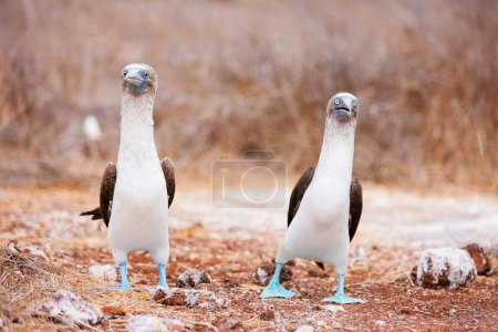 Photo for Couple of blue footed boobies performing mating dance - Royalty Free Image