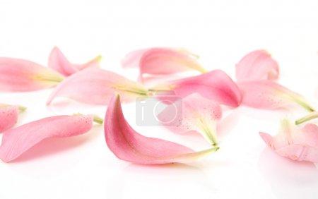 Petals pink lilies