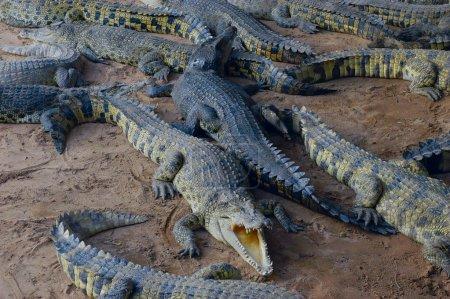 alligators on beach