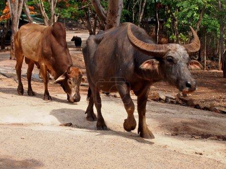 Thai buffalo in the Pattaya zoo