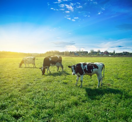Photo for Morning pasture. Summer good weather shot - Royalty Free Image