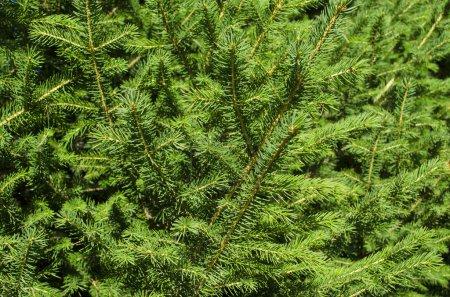 Photo pour Fond de branches d'arbres de Noël vert - image libre de droit