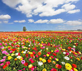 """Постер, картина, фотообои """"поля, цветущие красочные садовые лютики"""""""