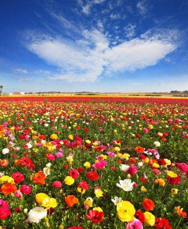 Foto de Floración de primavera. enormes campos de grandes coloridos ranúnculos y ranunculus crecen en kibbutz en israel meridional. - Imagen libre de derechos