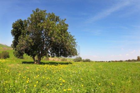 die Felder mit blühenden Ranunkeln