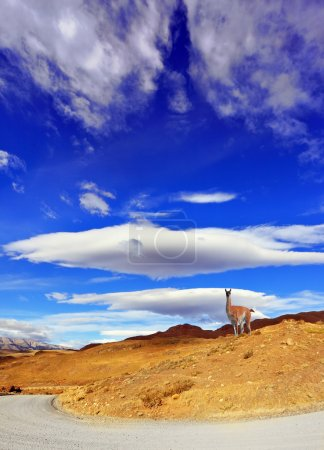 On the hill  poses guanaco