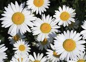Heřmánkový čaj. krásné květiny v zahradě