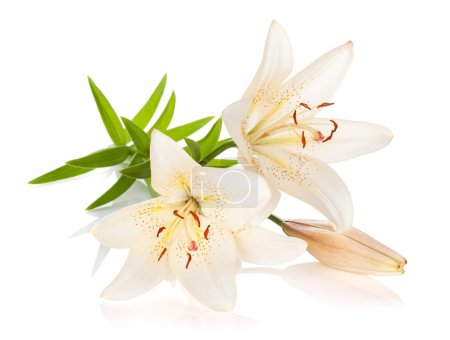 Two white lily flowers