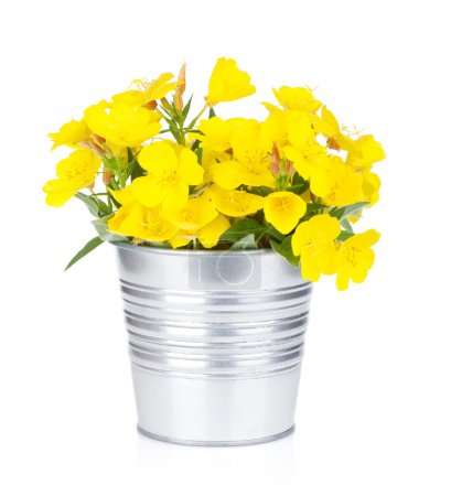 Photo for Yellow flowers in bucket. Isolated on white background - Royalty Free Image