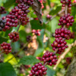 Coffee beans ripening on a tree...