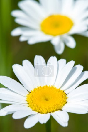 Close up of chamomile flower