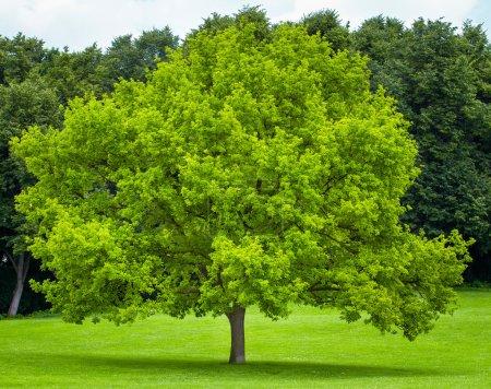 Single tree on a green grass lawn