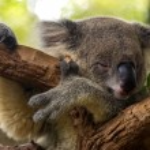 Koala sleeping on a tree...