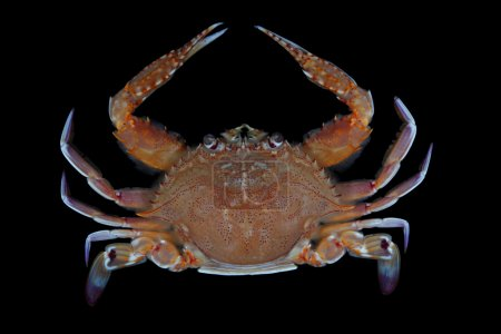 One of commercial crabs of Vietna...
