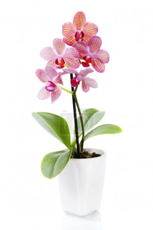 Pink orchid in a white flowerpot