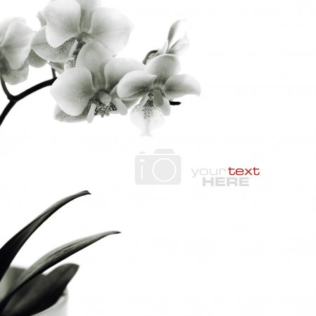 Photo for Pink orchid branch isolated on white background - Royalty Free Image