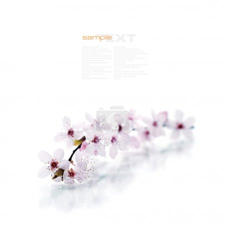 Photo for Pink cherry blossom sakura on white (with easy removable sample text) - Royalty Free Image