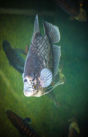 fish swim on the pond